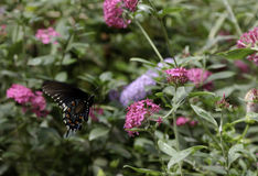Black Swallowtail Butterfly. A Black Swallowtail Butterfly is flying around the flower Stock Photography