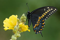 Black Swallowtail Butterfly. Black swallowtail (Papilio, polyxenes) butterfly perched on mullein flower before sunrise royalty free stock image