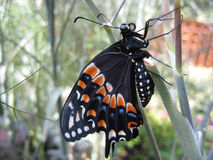 Black Swallowtail Butterfly (Close-up Macro) Royalty Free Stock Photography