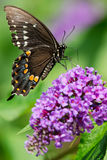 Spicebush Swallowtail Butterfly - Papilio troilus. Spicebush Swallowtail Butterfly collecting nectar from a butterfly bush flower. Also known as the Green stock image