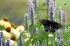 Black Swallowtail Butterfly. A Black Swallowtail Butterfly Feeds on Anise Hyssop in my herb garden royalty free stock photography