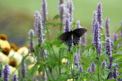 Black Swallowtail Butterfly. A Black Swallowtail Butterfly Feeds on Anise Hyssop in my herb garden stock image