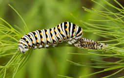 Black Swallowtail butterfly caterpillar Stock Images