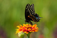 Black Swallowtail Butterfly Stock Photo