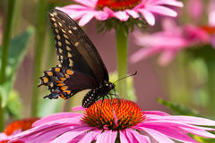 Black Swallowtail Butterfly Royalty Free Stock Photography