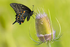 Black Swallowtail Butterfly - Papilio polyxenes. Black Swallowtail Butterfly collecting nectar from a Fuller's Teasel flower. Also known as the American royalty free stock photo