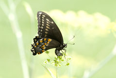 Black swallowtail butterfly. A dancing black swallowtail butterfly Stock Images