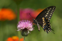 Black Swallowtail Butterfly. The (Eastern) Black Swallowtail (Papilio polyxenes), also called the American Swallowtail or Parsnip Swallowtail, is a butterfly stock photo