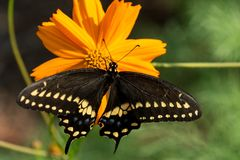 Black Swallowtail butterfly feasting on orange Cosmos flower royalty free stock image