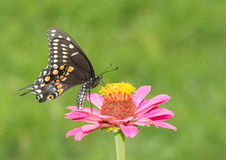 Black Swallowtail butterfly feeding on a pink Zinnia Royalty Free Stock Image