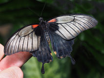 Black Swallowtail Butterfly on a Finger Stock Photography