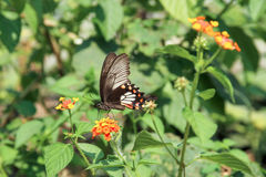 Black Swallowtail butterfly on Flower Royalty Free Stock Photography