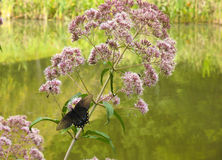 Black swallowtail butterfly on flower. Black swallowtail butterfly on pink flower near pond Stock Photos
