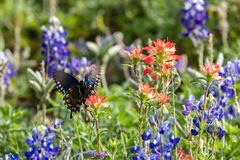 Black swallowtail butterfly flying away from an Indian Paintbrush wildflower. Black swallowtail butterfly flying away from a Texas bluebonnet wildflower in the royalty free stock images