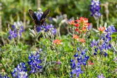 Black swallowtail butterfly flying away from a Texas bluebonnet wildflower. In the springtime stock photo