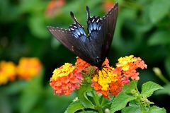Black Swallowtail Butterfly At A Garden Royalty Free Stock Images