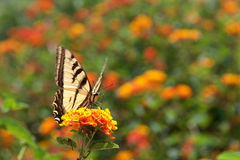 Black Swallowtail butterfly on lantana flowers Stock Photo