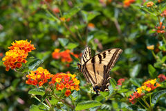 Black Swallowtail butterfly on lantana flowers Stock Images