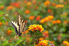 Black Swallowtail butterfly on lantana flowers Royalty Free Stock Images