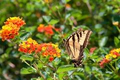 Black Swallowtail butterfly on lantana flowers Royalty Free Stock Photo