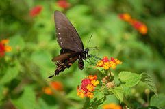 Black swallowtail butterfly on lantana flowers Royalty Free Stock Photos