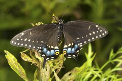 Black swallowtail butterfly in a meadow in Vernon, Connecticut. Royalty Free Stock Image