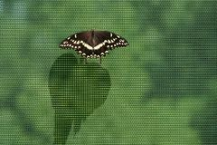 Black swallowtail butterfly on mesh netting casting a long shadow. A black swallowtail butterfly rests on mesh netting and casts a long shadow royalty free stock photo