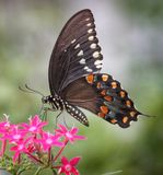 Black Swallowtail Butterfly Nectars on Pentas. A Black Swallowtail butterfly nectars on pink pentas flowers using a proboscis royalty free stock photography