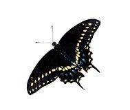 Black Swallowtail butterfly (Papilio polyxenes). Isolated over white royalty free stock photo