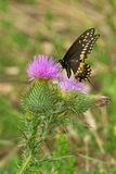 Black Swallowtail Butterfly - Papilio polyxenes. Black Swallowtail Butterfly collecting nectar from a Bull Thistle flower. Also known as the American Swallowtail stock photo