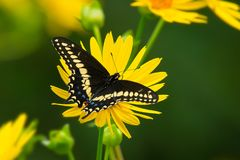 Black Swallowtail Butterfly - Papilio polyxenes. Black Swallowtail Butterfly collecting nectar from a Cup Plant flower. Also known as the American Swallowtail royalty free stock images