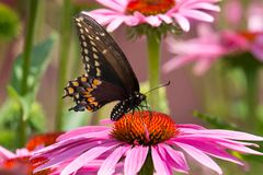 Black Swallowtail Butterfly - Papilio polyxenes. Black Swallowtail Butterfly collecting nectar from a Purple Coneflower. Also known as the American Swallowtail stock image