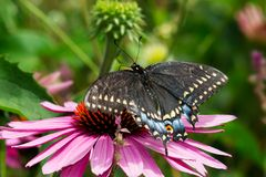 Black Swallowtail Butterfly - Papilio polyxenes. Black Swallowtail Butterfly collecting nectar from a Purple Coneflower. Also known as the American Swallowtail stock images
