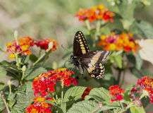 Black Swallowtail Butterfly, Papilio polyxenes Stock Image
