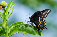 Black Swallowtail butterfly (Papilio polyxenes) Stock Image