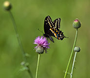 Black Swallowtail butterfly (Papilio polyxenes) Stock Photo