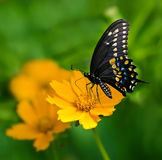 Black Swallowtail butterfly (Papilio polyxenes) Royalty Free Stock Photo