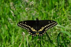 Black Swallowtail Butterfly - Papilio polyxenes. Black Swallowtail Butterfly resting in the grass. Also known as the American Swallowtail and Parsnip Swallowtail stock photography