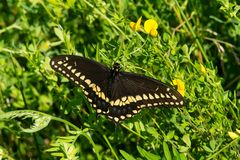 Black Swallowtail Butterfly - Papilio polyxenes. Black Swallowtail Butterfly resting in the greenery soaking up the morning sun. Also known as the American stock photos