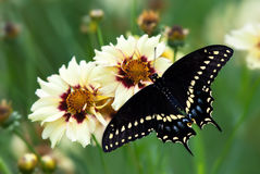 Black Swallowtail butterfly (Papilio polyxenes) Stock Photos