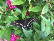 Black Swallowtail Butterfly and Pentas. A Black Swallowtail Butterfly rests on the leaf of a Pentas plant Stock Photos