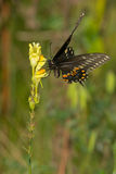 Black Swallowtail Butterfly - Papilio polyxenes. Black Swallowtail Butterfly perched on a little yellow flower. Also known as the American Swallowtail and stock photo