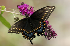 Black Swallowtail Butterfly. Perched with open wings on a butterfly bush royalty free stock photo
