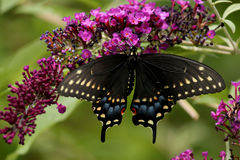 Black Swallowtail Butterfly. Perched with open wings on the flowers of a butterfly bush stock photos