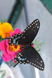 Black Swallowtail. Black butterfly on a pink flower Royalty Free Stock Photos