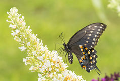 Black Swallowtail butterfly pollinating a white Buddleia flower Royalty Free Stock Photography