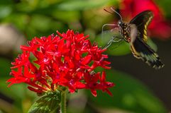 Black Swallowtail Butterfly on Red Penta Flower. At Sunken Gardens stock photography