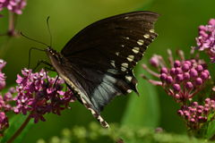 Black Swallowtail Butterfly resting on flower. Black Swallowtail Butterfly resting on unbloomed flower Royalty Free Stock Photo