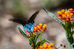 Black Swallowtail Butterfly Resting on the Texas Wildflowers Royalty Free Stock Photos