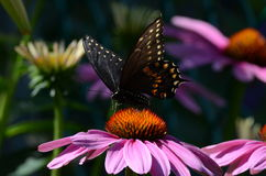 Black Swallowtail Butterfly. A Black Swallowtail Butterfly sitting on a cone flower in Toronto, Ontario, Canada stock photo